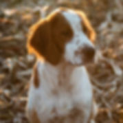 Irish red and white setter dog having puppies 2016 February top FCI pedigree