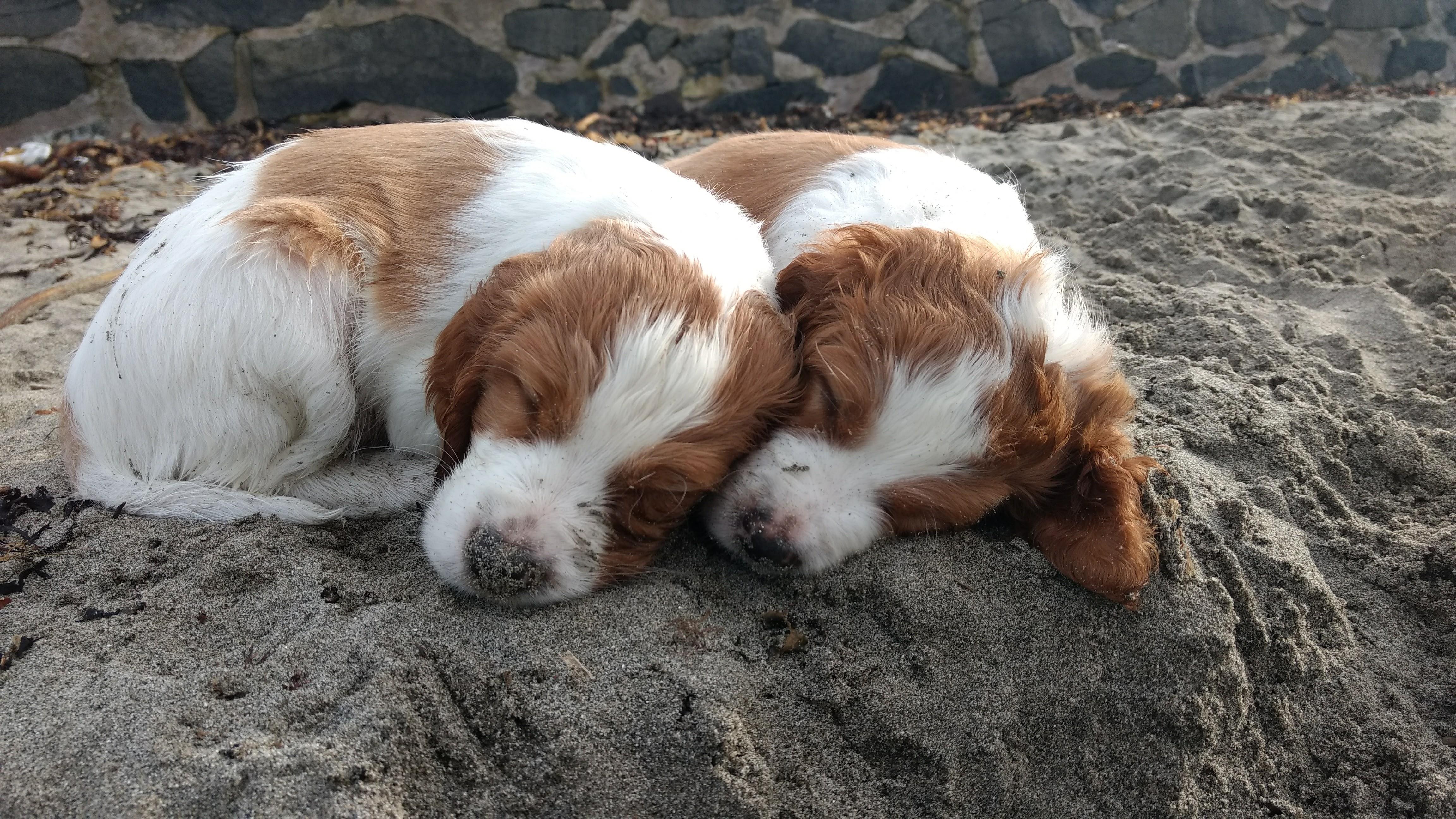 Bruce and Bertie sleeping on beach