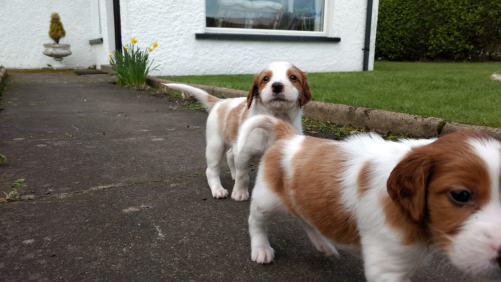 At 5 and a half weeks the puppies are really playful! Even Ruby, their mother, joins in with their games now.