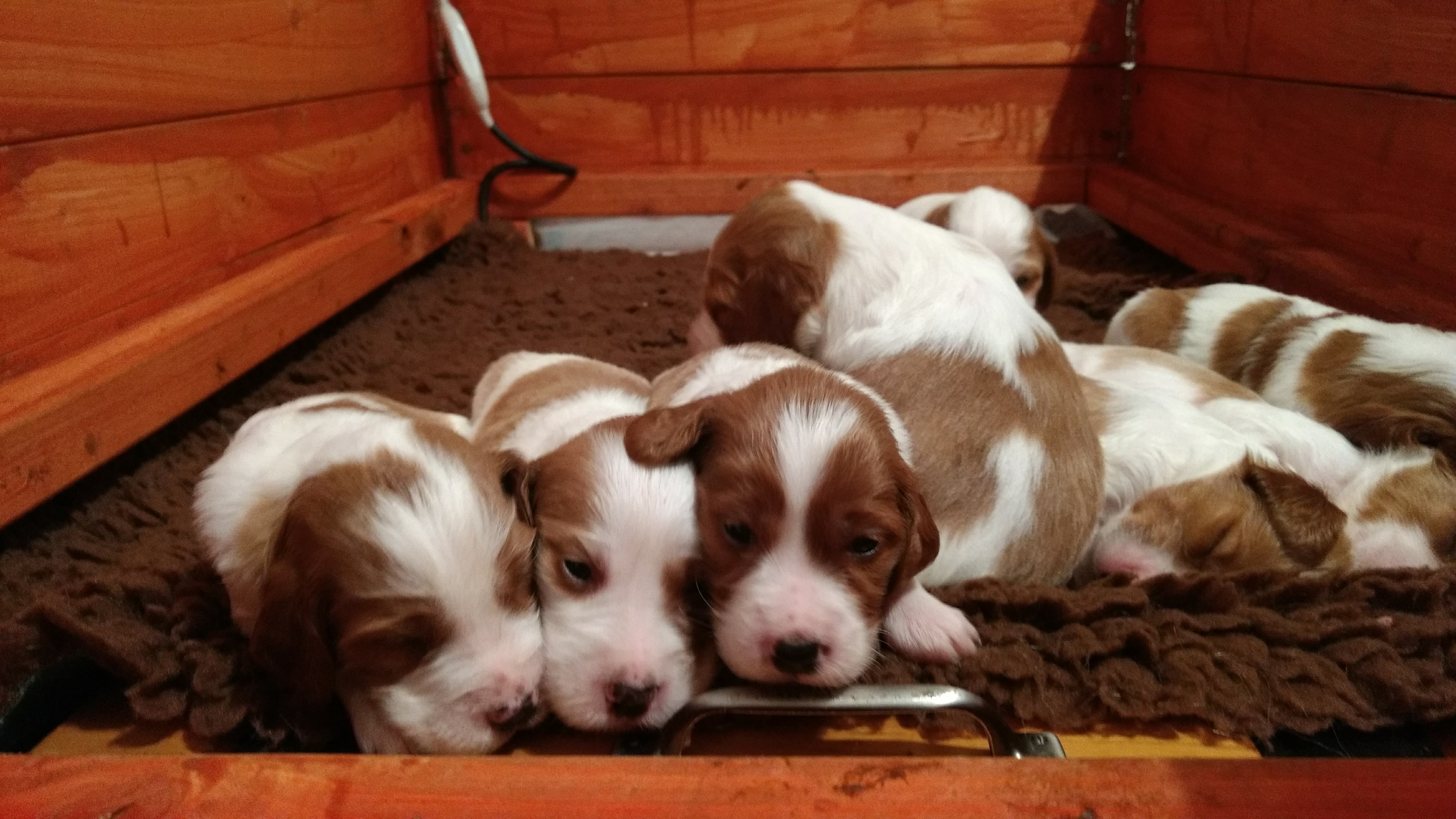 19 days old IRWS B litter puppies