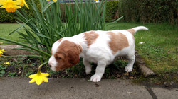 Bruce pointing at daffodil