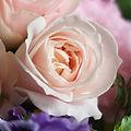 バラ(剣弁咲き)