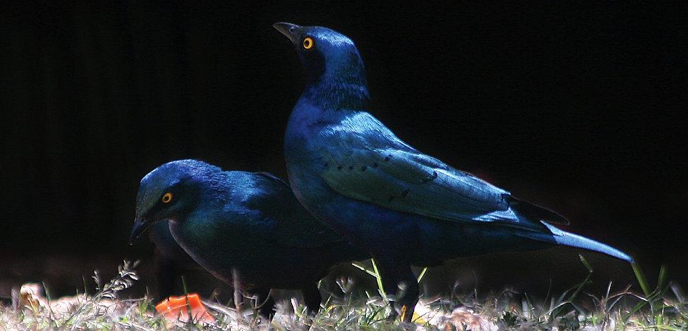 two-starlings.jpg