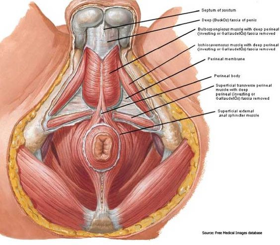 male pelvic floor, from below