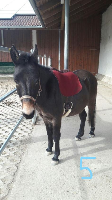 Auch für Mulis, Esel oder Pferde mit wenig Bemuskelung an der Wirbelsäule