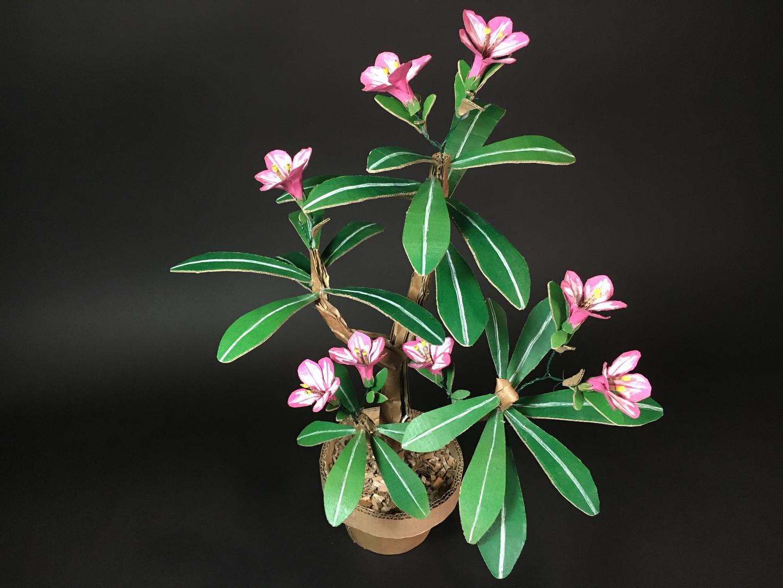 Adenium Obesum Cristata | Desert Rose
