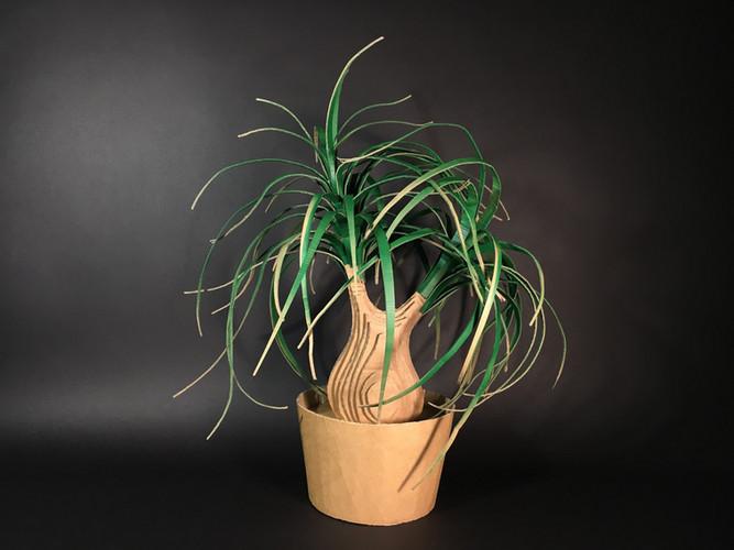 Nolina Recurvata   Ponytail Palm