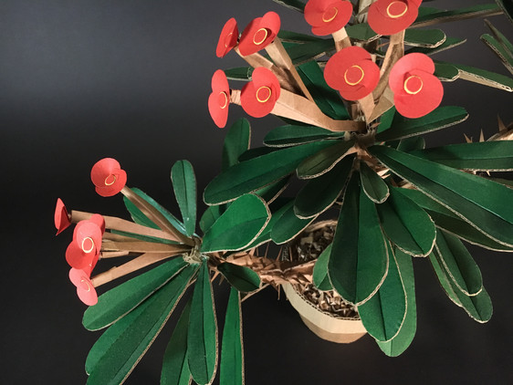 Euphorbia Milii | Crown of Thorns
