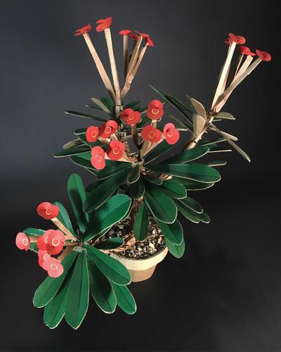 Euphorbia Milii   Crown of Thorns