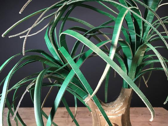 Nolina Recurvata | Ponytail Palm