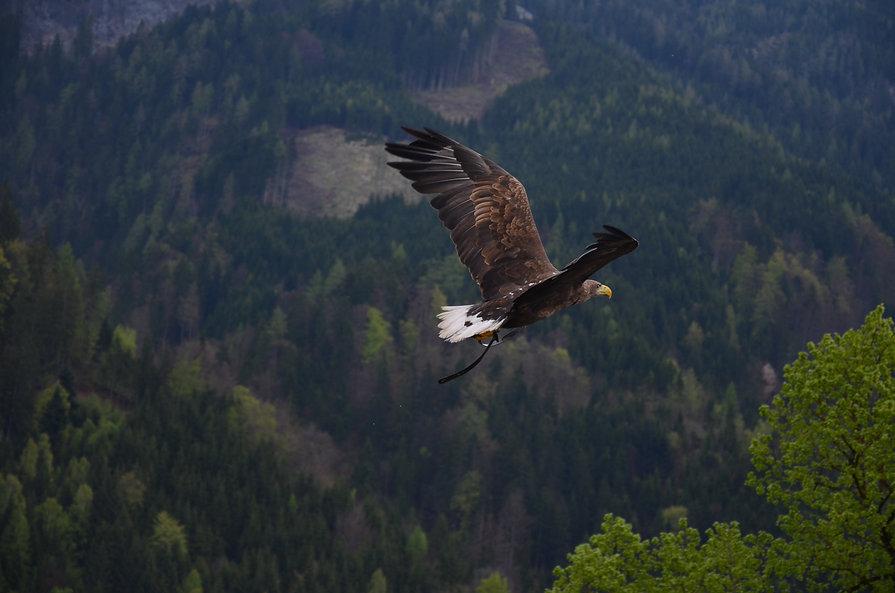 adler-baume-fliegen-53587.jpg