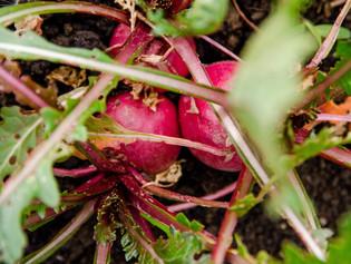 Ask Aaron: When to Harvest Root Vegetables?