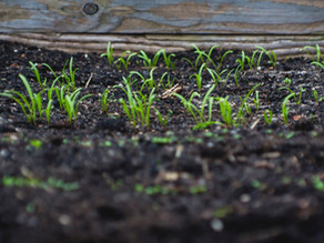 Direct Sowing Early Season Vegetables