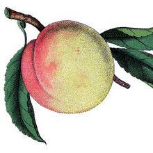 fruit+peach+vintage+graphicsfairy005b.jp