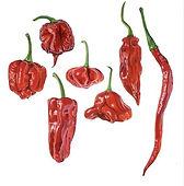 hot pepper.jpeg