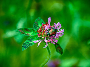 Ask Aaron: Japanese Beetle Pest Management