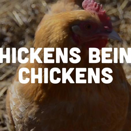 Just Chickens Being Chickens