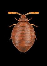 bedbug2.png
