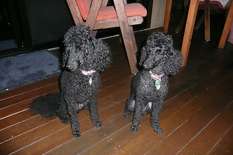 Our Poodles
