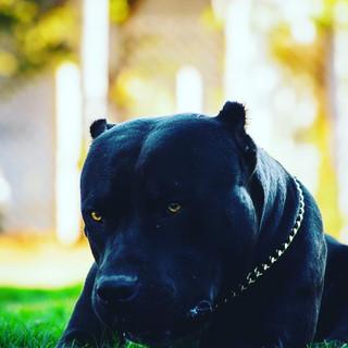pitbull India