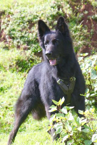 black german shepherd India