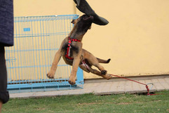 Mali Protection dogs India