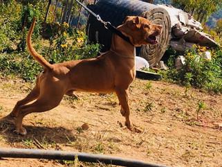American Pitbull terrier India