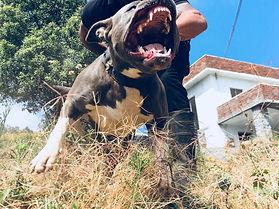 Pitbull India. Pitbull Protection Dogs.