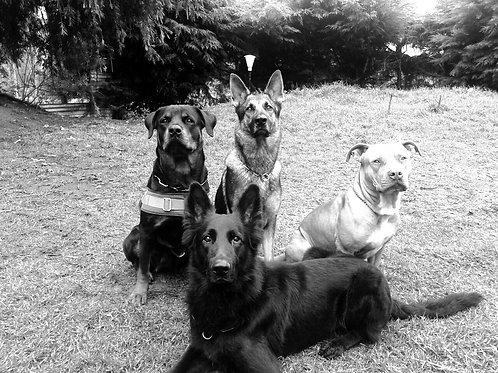 Canine Behavioural Diploma