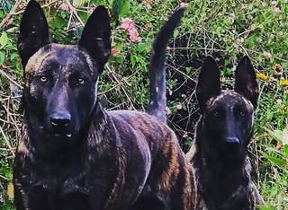 dutch shepherds india