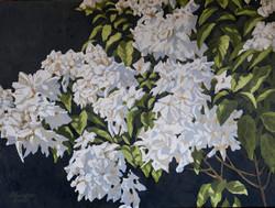 Mussaenda (Double White)