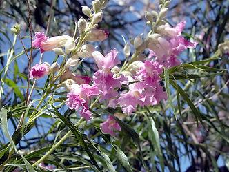 Desert Willow Tree.jpg