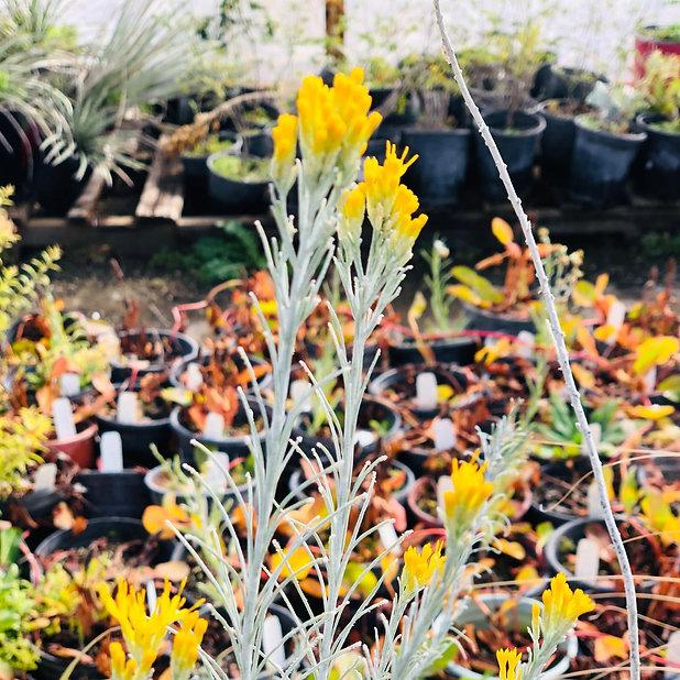 yellow flower in pot.jpg