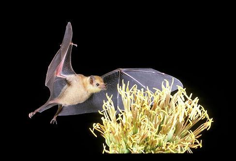 Lesser long nosed bat.jpeg
