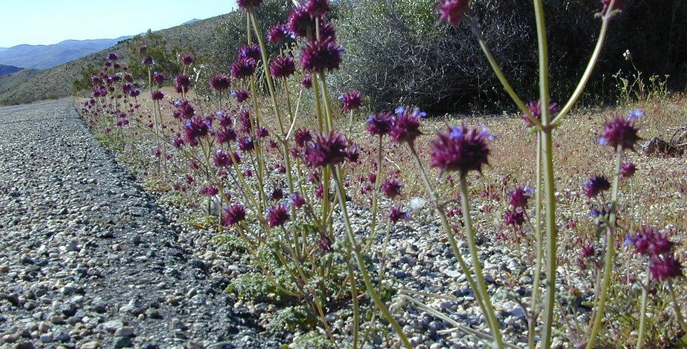 Desert Chia Seed, Salvia columbariae