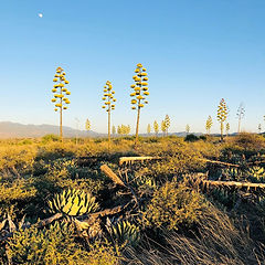 agave patch.jpg