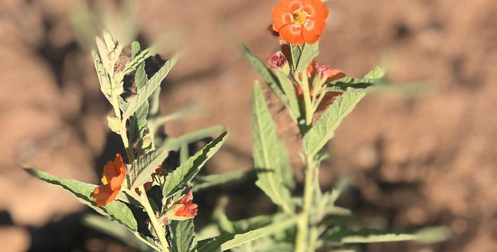 Narrow-Leaved Globemallow, Sphaeralcea angustifolia