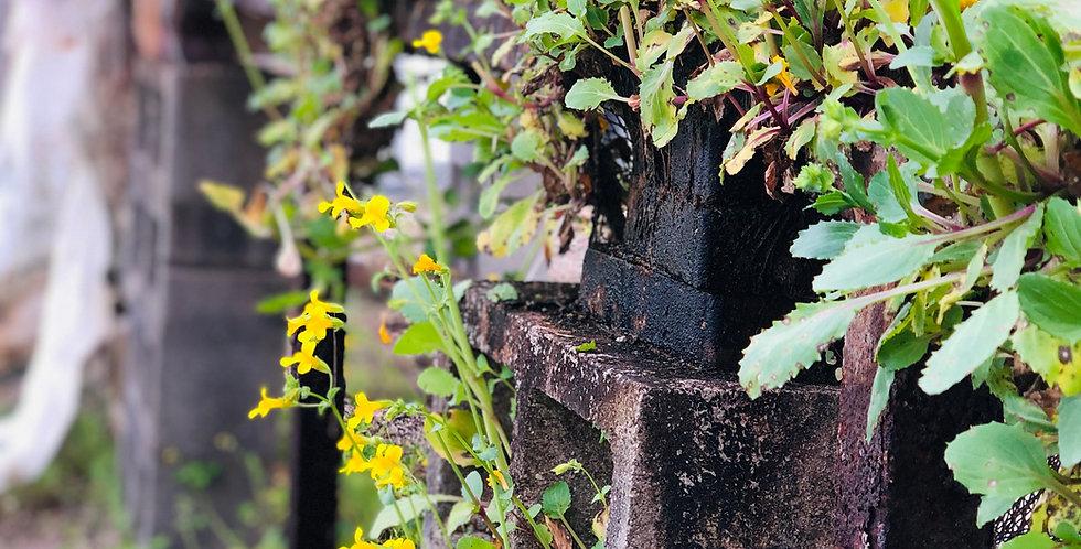 Common Monkeyflower, Erythranthe guttata