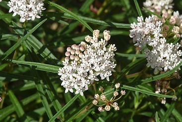 0864Asclepias-angustifolia,-Arizona-Milk