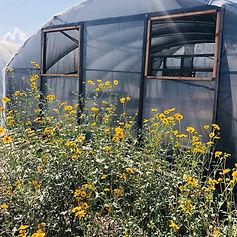 yellow flowers greenhouse.jpg