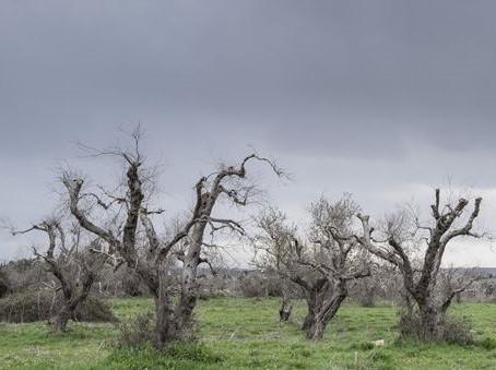 Das Sterben der Olivenbäume