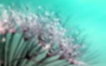 dandelion-445228_1920.jpg