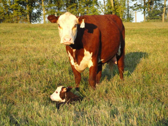 herefordcowcalf