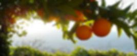 orange%20tree.jpg