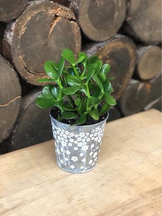 Cacti/Succulent