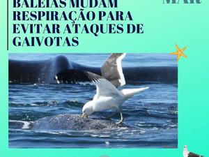 Baleias desenvolvem técnica de respiração para se defenderem de gaivotas