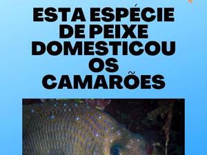 A espécie de peixe que domesticou os camarões