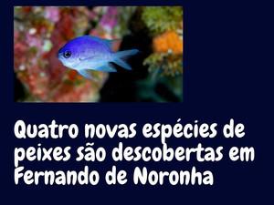 Novas espécies de peixes descobertas em Noronha