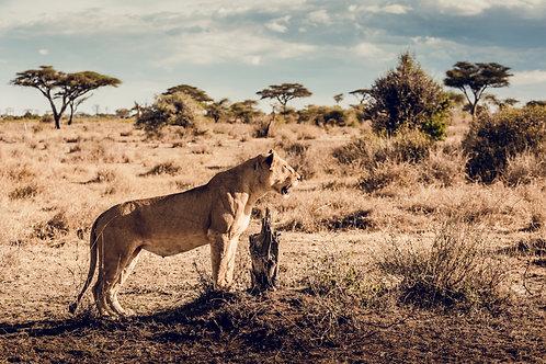 Lionne Tanzanie