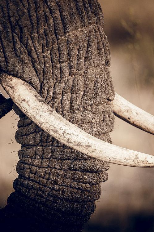 Défences d'éléphant Tanzanie